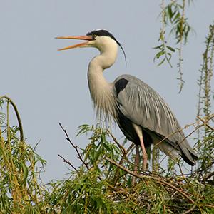 "Vogelmonitoring und SARS Cov19 (""Corona"")"